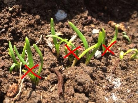 ほうれん草 家庭菜園 ホウレン草の発芽と間引き