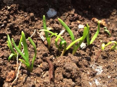 ほうれん草 家庭菜園 発芽と間引き