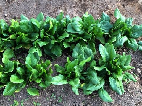 ほうれん草 家庭菜園 収穫