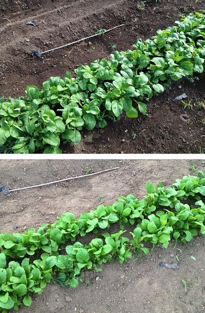 小松菜 家庭菜園 収穫