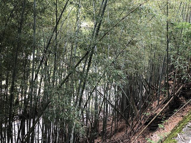 田舎の放置竹林